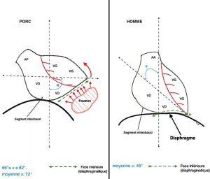 Figure 2. Orientations comparatives et positionnement sus-diaphragmatique des cœurs humain et porcin.